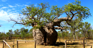 boab tree.png